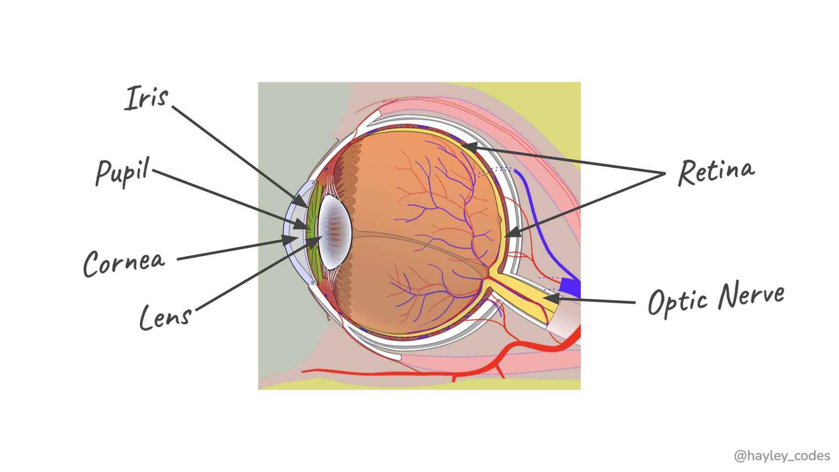 Annotated diagram of the human eye.